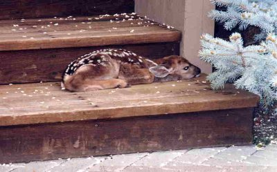 fawn on porch
