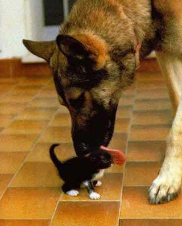 german shephard & Kitten