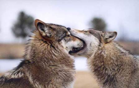 wolves kissing
